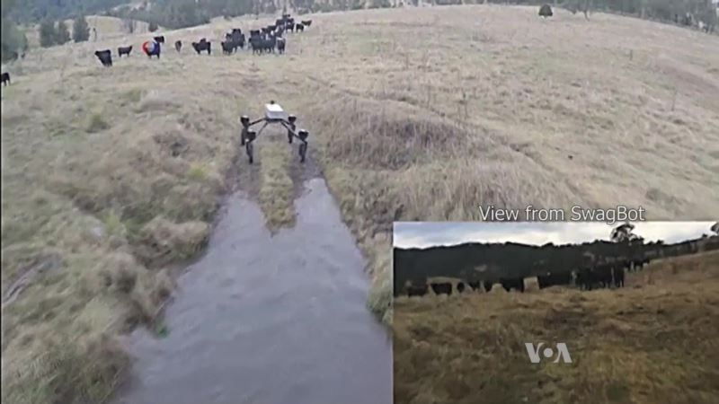Cattle Herding Robot Takes Over a Dog's Job