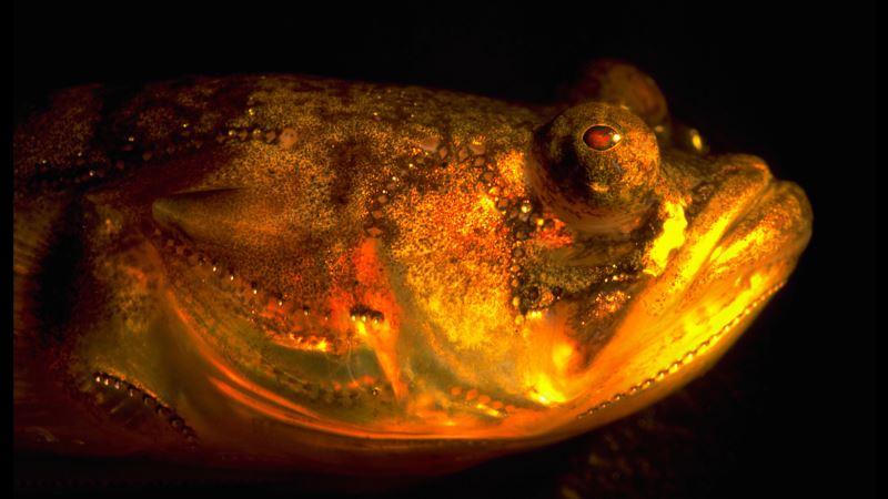 Moonlight Sonata: Fish's Nocturnal 'Singing' Secrets Revealed