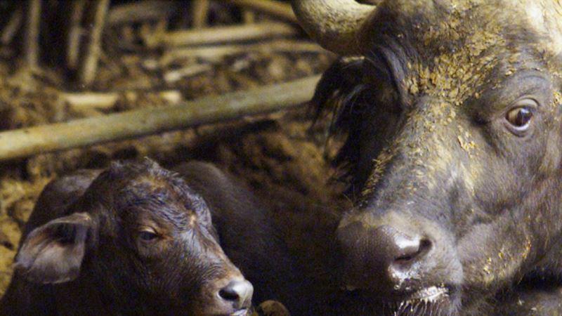 South Africa Unveils Test-tube Buffalo, Plans IVF Rhino