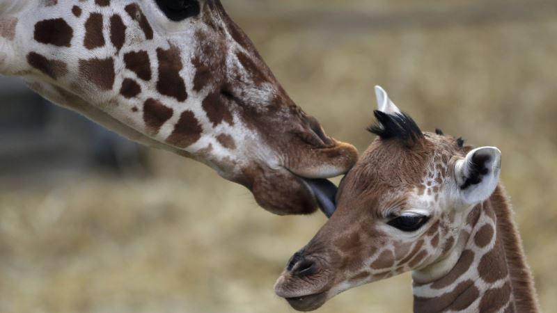 Study: Giraffes Belong to Four Species, Not One