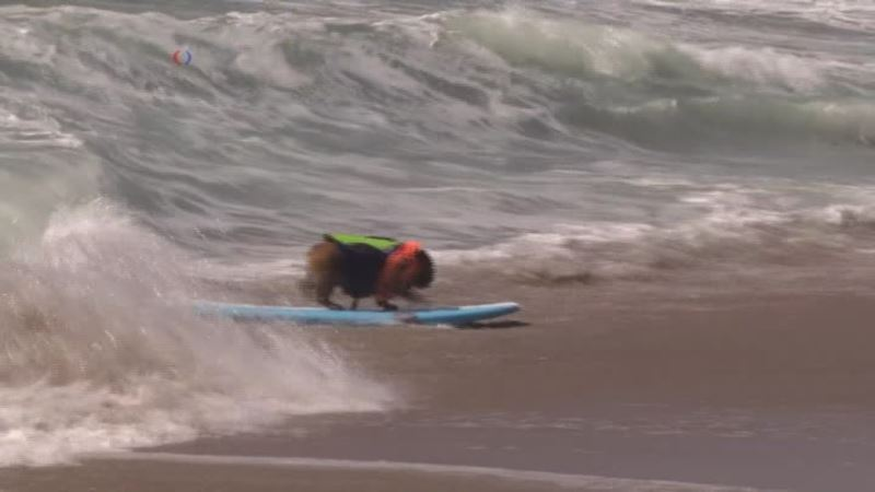 Pooches Hit the Waves at Surf City Surf Dog Competition