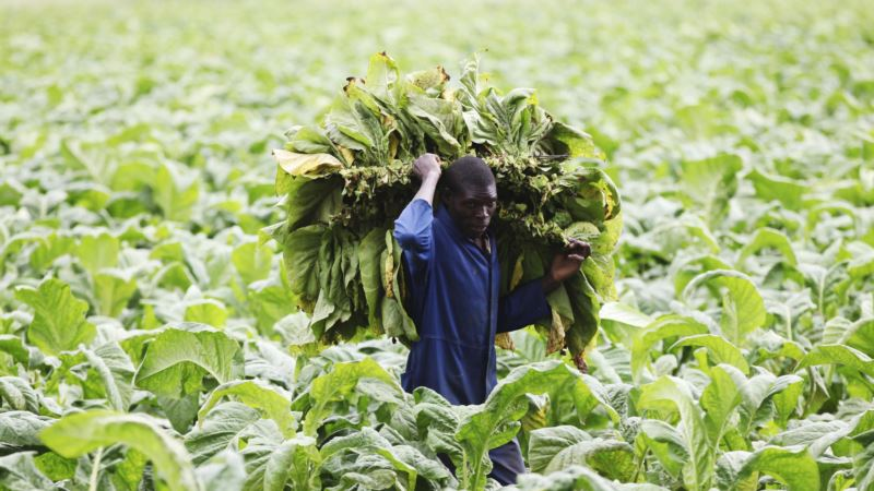 Tobacco Plants Found Capable of Producing Malaria Drug