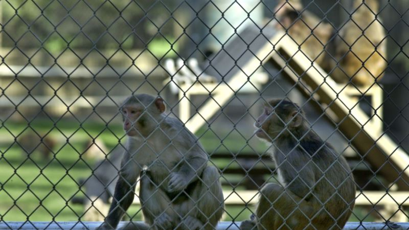 Experiment in Monkeys Raises Hopes of 'Functional Cure' for HIV