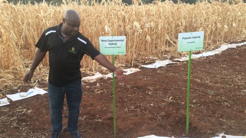 Zimbabwean Scientists Unveil Maize Seeds Resistant to Heat, Drought