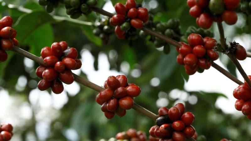 Coffee Bean Taboo Gets Second Look Amid Climate, Market Changes
