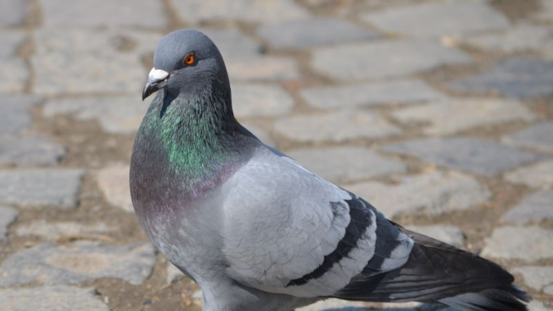 Pigeon with Message for Modi Taken Into 'Custody'