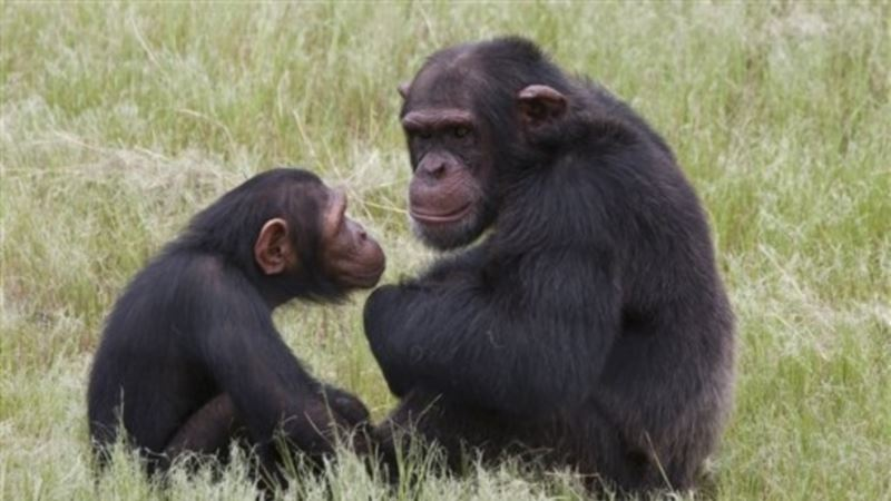 Apes Show Complex Cognitive Skills Watching 'King Kong' Videos