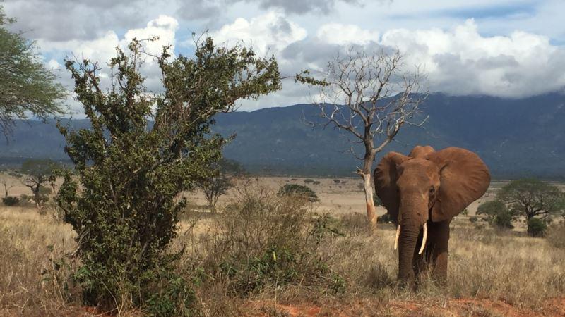 Elephant Poaching Hurting African Tourism