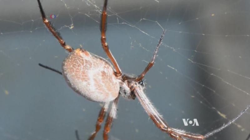 Spider Webs Transmit Vibrations Like Guitar Strings