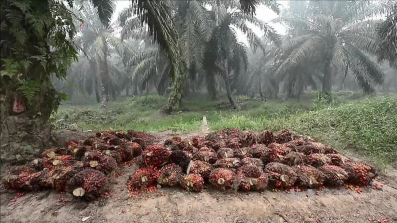 Palm Oil Giant Accused of Using Child Labor