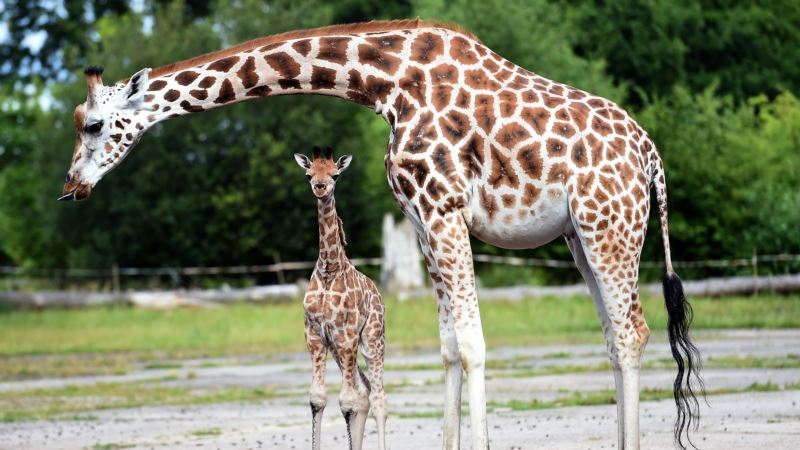 Red List Report: Giraffes Suffer 'Silent Extinction' in Africa