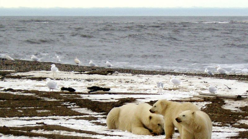 Polar Bear Numbers Seen Declining A Third From Arctic Sea Ice Melt