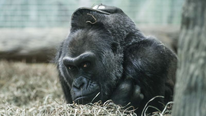 Colo, World's Oldest Gorilla, Turns 60