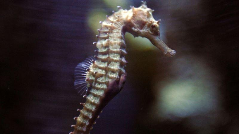 Undersea Mystery: Seahorse Genetic Secrets Unveiled