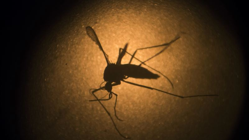 Human Zika Antibodies Prevent Infection in Mice