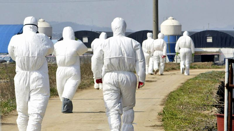 Gloomy Start to Year of Rooster as Bird Flu Hits South Korea
