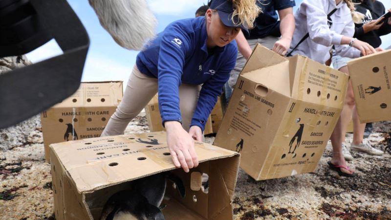 US Aquarium Helps Facilitate Release of Rescued Penguins in S. Africa