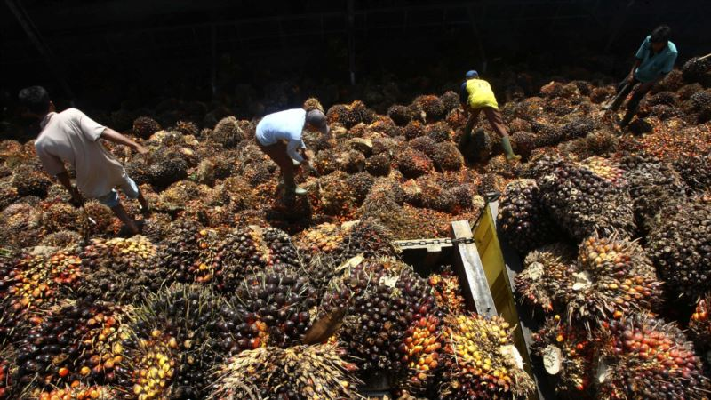 Amnesty: Labor Abuses at Indonesian Palm Plantations Supplying Global Companies