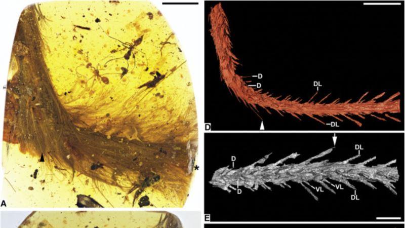 Dinosaur Tail Found in Myanmar