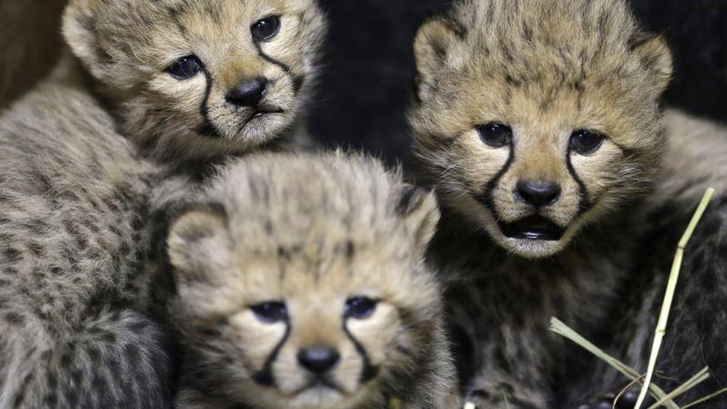 Cheetah Numbers Decline as African Habitat Shrinks