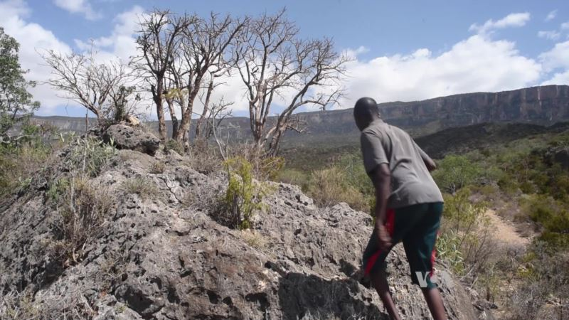 For Trade in Frankincense, Harvesters Risk Life and Tree Limb