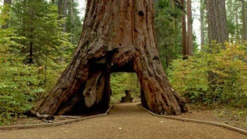 Ancient Sequoia Felled by Storm