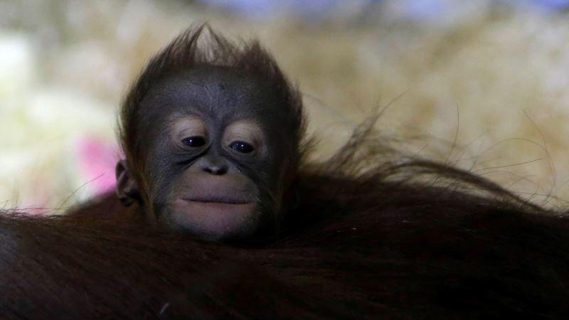 Baby Orangutan Entertains Visitors to Czech Zoo