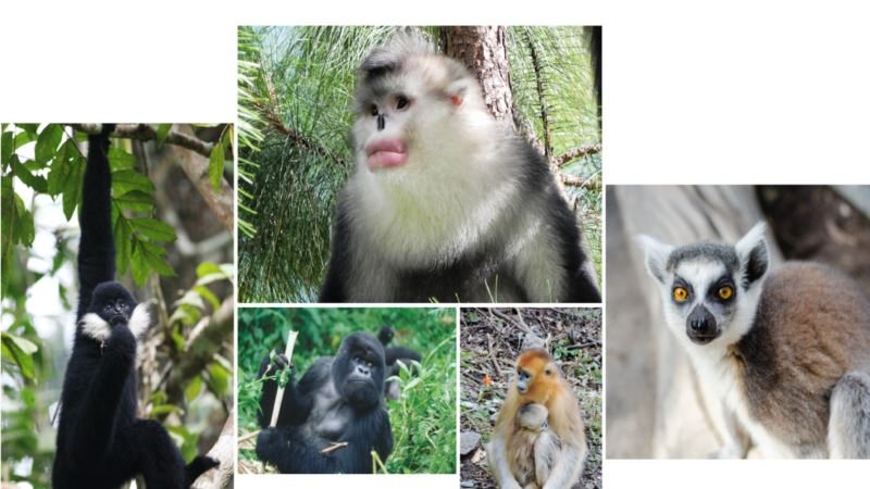 More Than Half the World's Primates Face Extinction