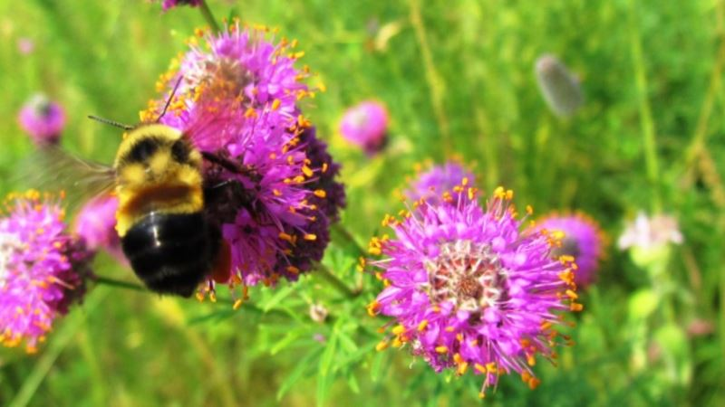 Bumble Bee Added to Endangered Species List