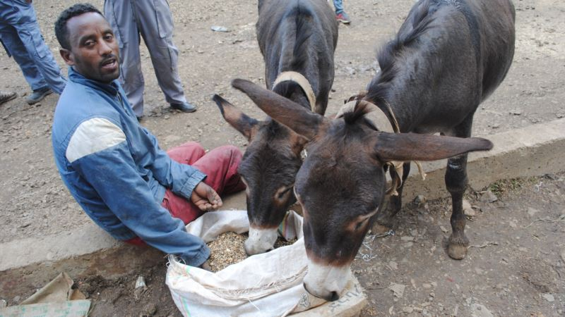 Improved Care for Domestic Animals Benefits Farmers in Ethiopia