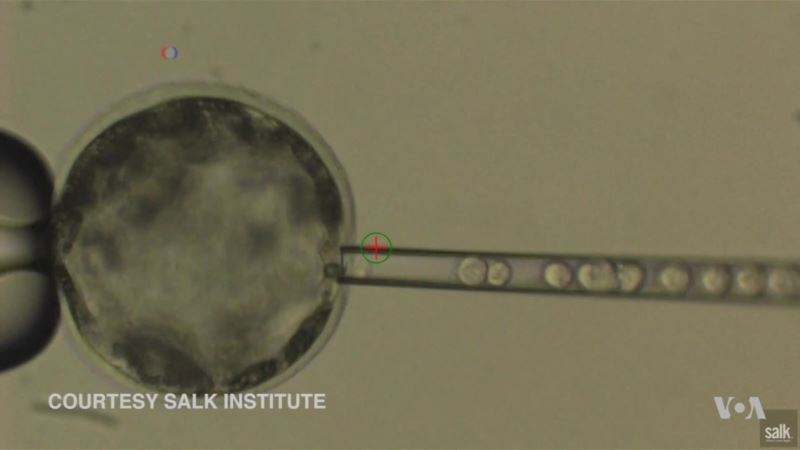 Human Stem Cells Successfully Implanted Into Pig Embryo