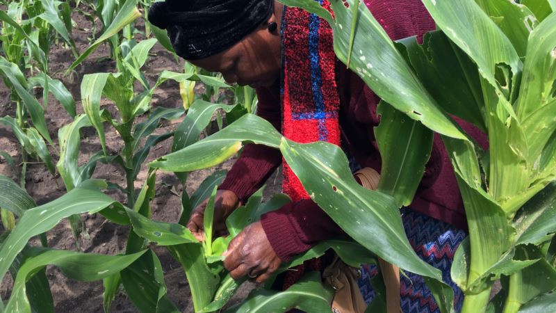 Zimbabwean Farmers in Pitched Battle Against Destructive Armyworms