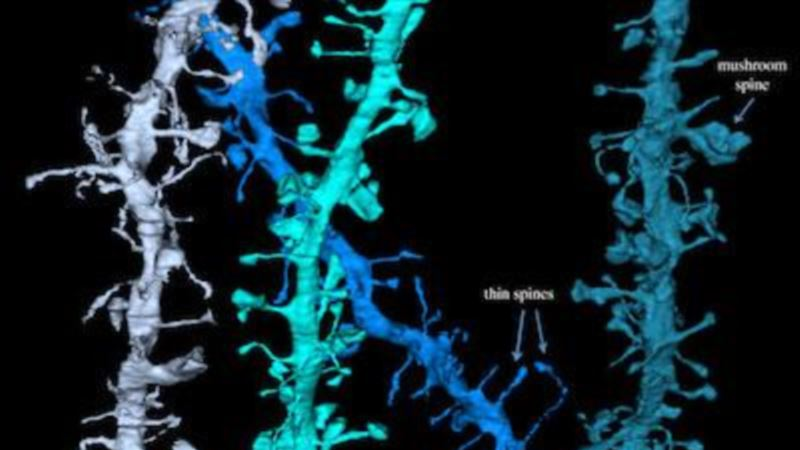 Sleep Shrinks Synapses, Preps For New Learning