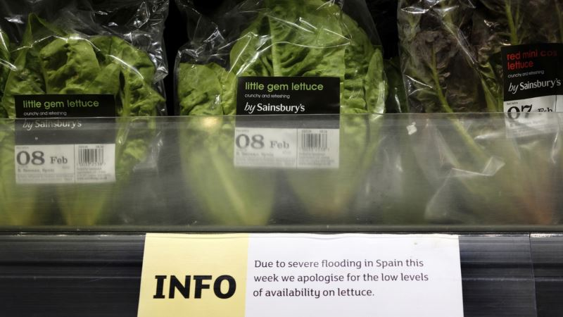 Lettuce Shortage Hits Europe Due to Bad Weather