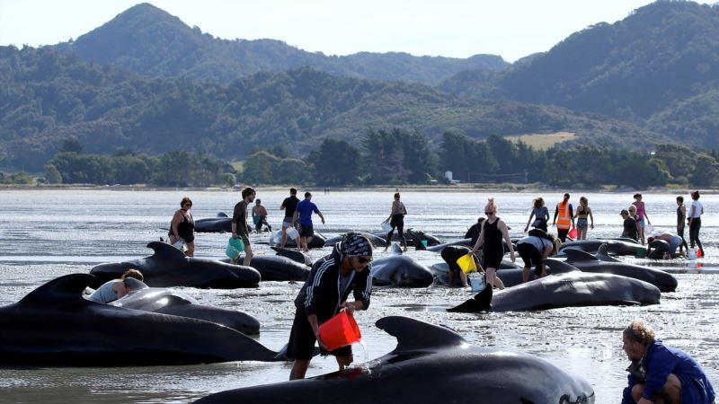 New Zealand Officials Warn Beached Whale Carcasses Could Explode