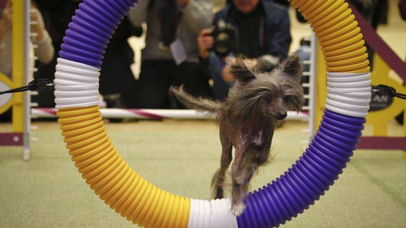 Cats Crashing Prestigious Westminster Dog Show? Not Exactly…