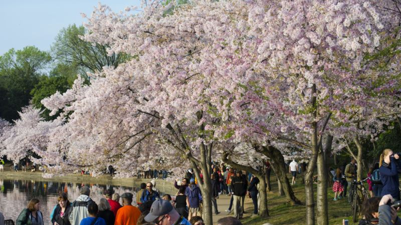 Predicted Peak Cherry Blossom Season Dates to be Announced