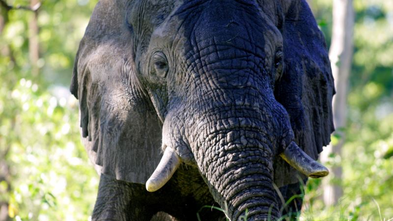 Snooze News: Elephants May Sleep Less Than Any Other Mammal