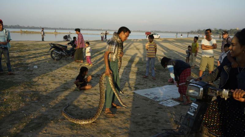 Australian Scientists Tackle Myanmar Snake Bite Problem