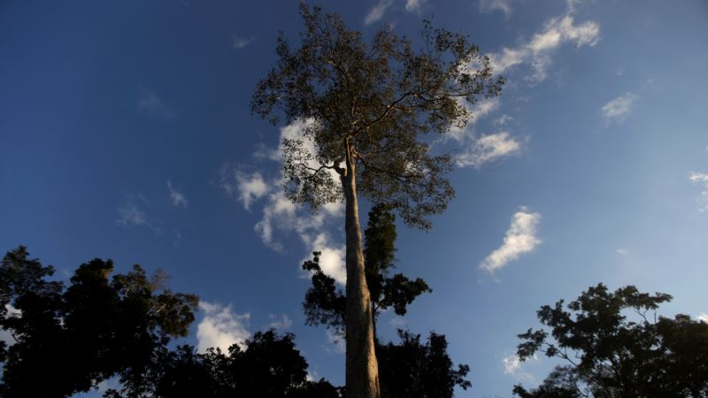 Ancient People Shaped the Amazon by Trees They Cultivated
