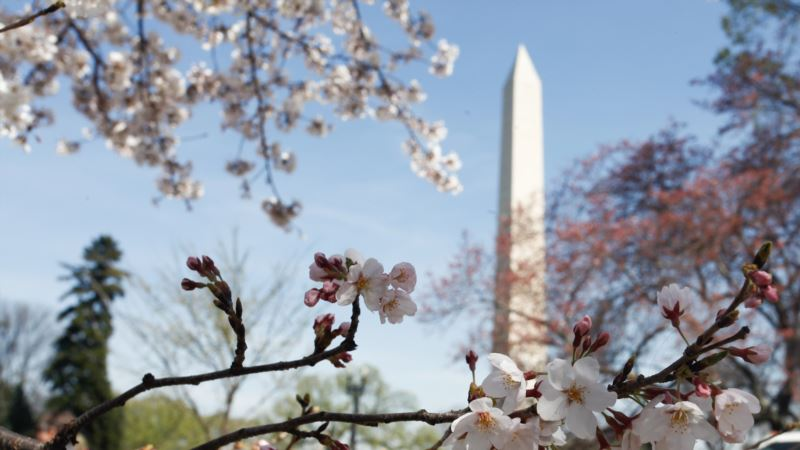 Warm Weather Speeds Blooming of Cherry Blossoms in Washington