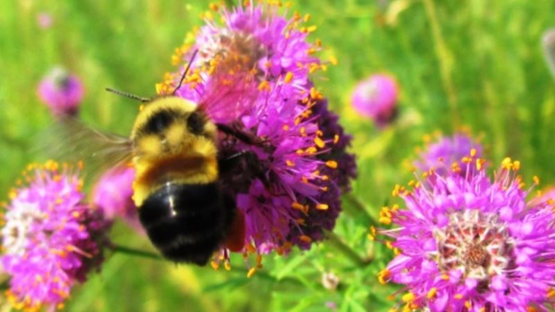 Rusty Patched Bumblebee First of Species Called Endangered