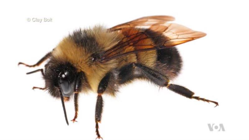 US Bumblebee Lands on Endangered Species List