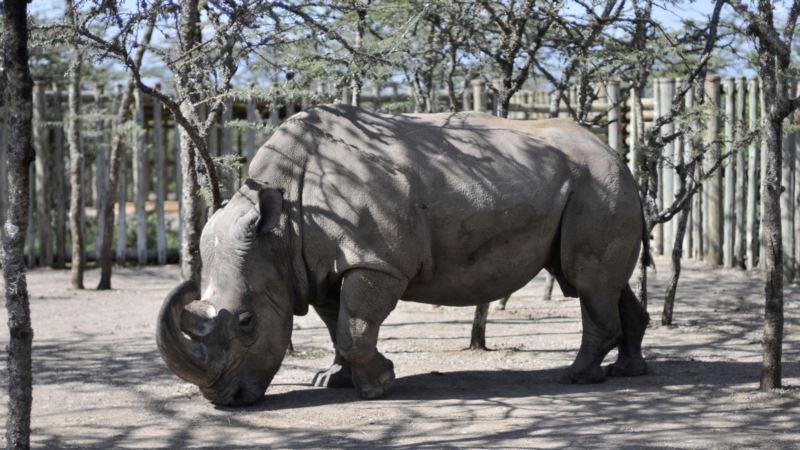 Last Male Northern White Rhino Seeks Mate on Tinder