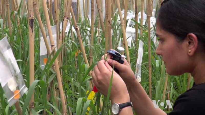 Gene Editing Creates Plants Resistant to Pathogens