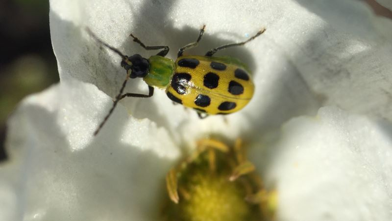 Scientists Track Beetles in Effort to Stop a Plant Plague