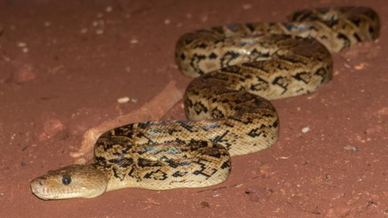 Snakes Hunt in Groups, Study Suggests