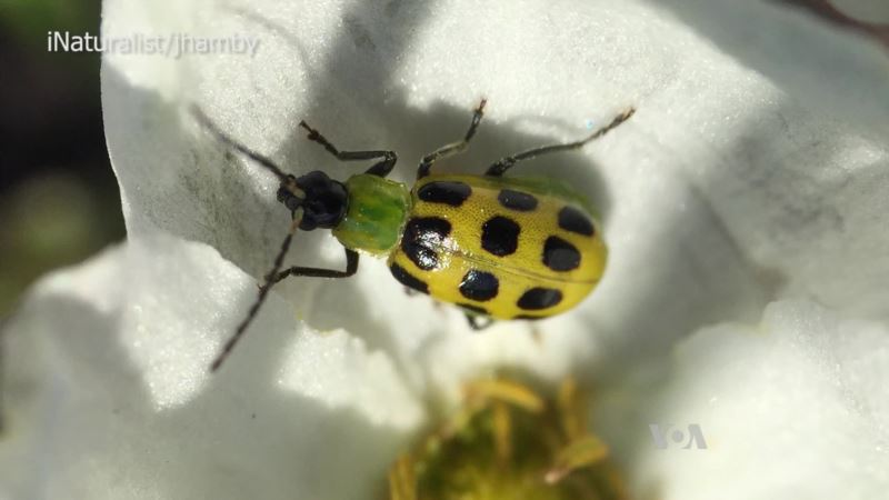Scientists Track Beetles to Stop a Plant Plague