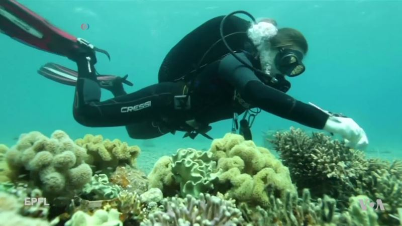 Scientists Look for Stronger Coral as Climate Change Heats Up