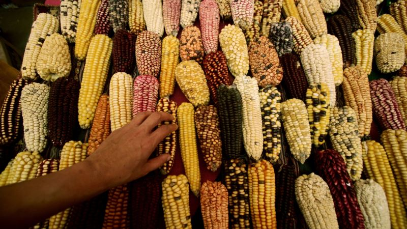 Mexico's Native Crops Hold Key to Food Security, Ecologist Says